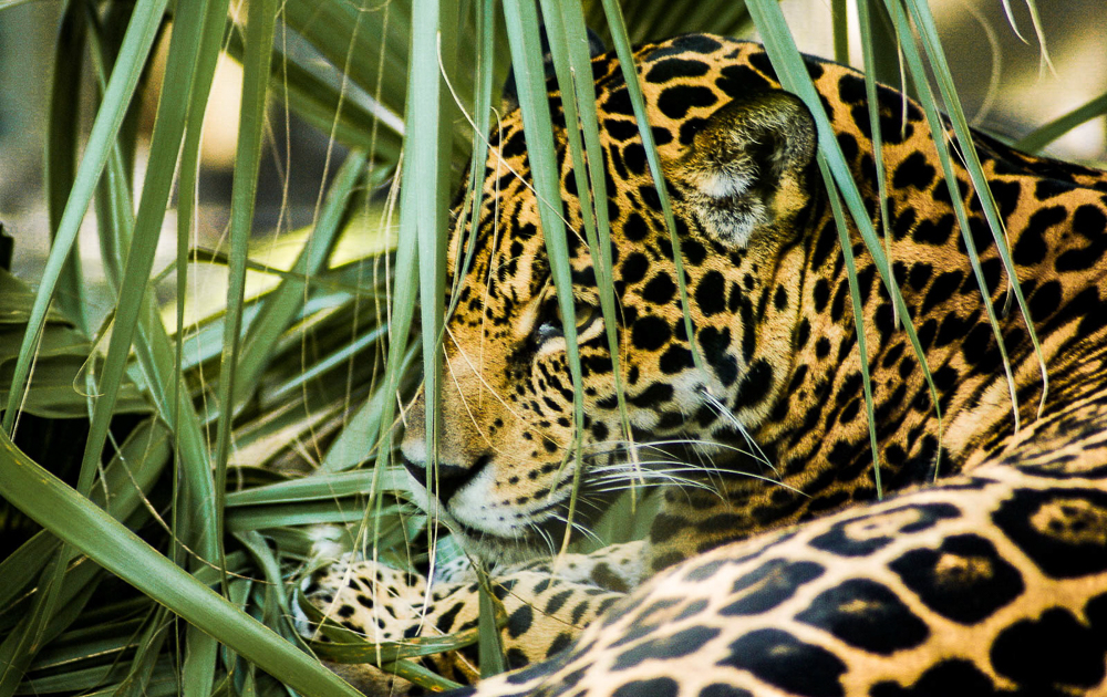 Jaguars at Cockscomb Basin Wildlife Sanctuary