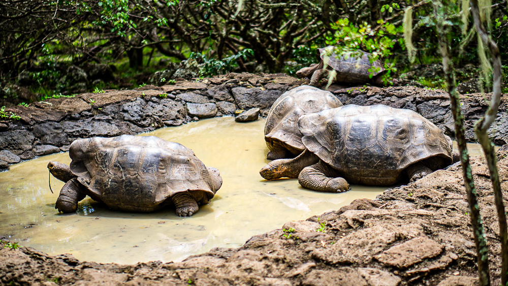 Galapagos islands: San Cristobal: giant tortoises at turtle sanctuary