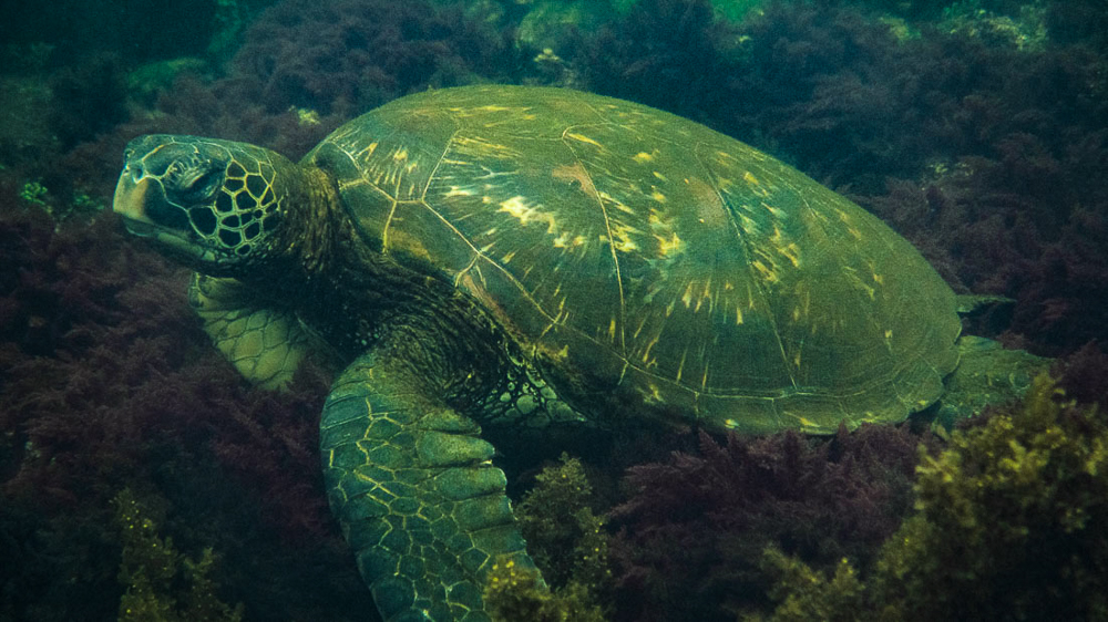 Galapagos Islands: isla Isabela - day trip to las tunneles. Turtle in water