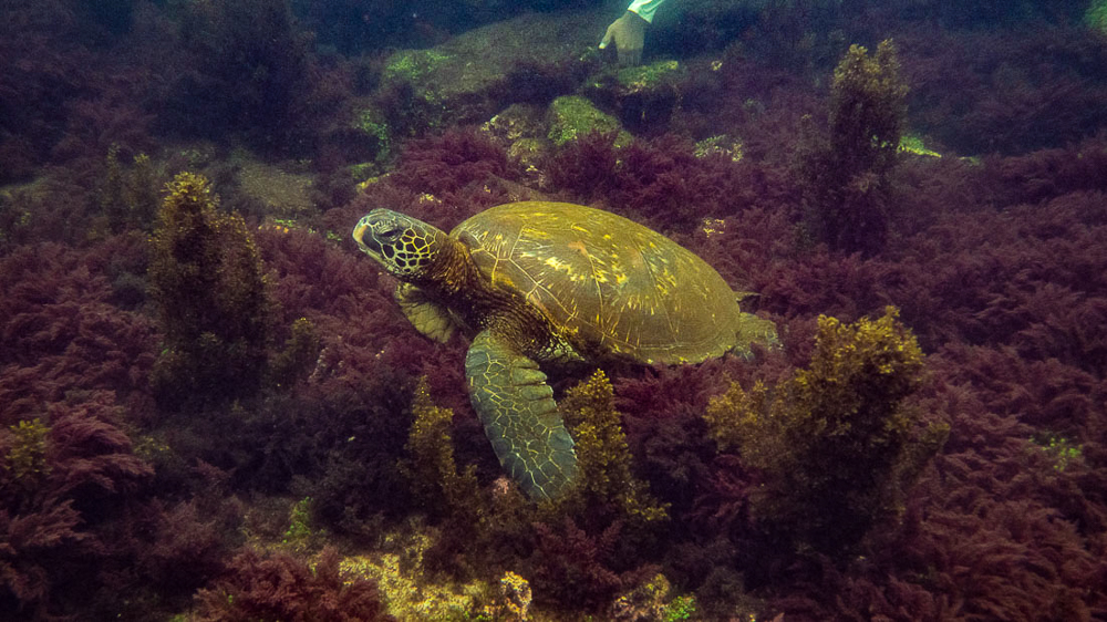 Galapagos Islands: Isla Isabella turtle swimming
