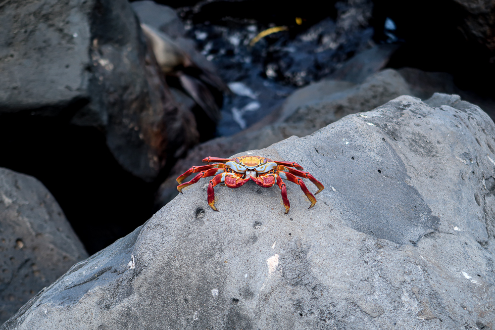 Galapagos islands: San Cristobal: red crab