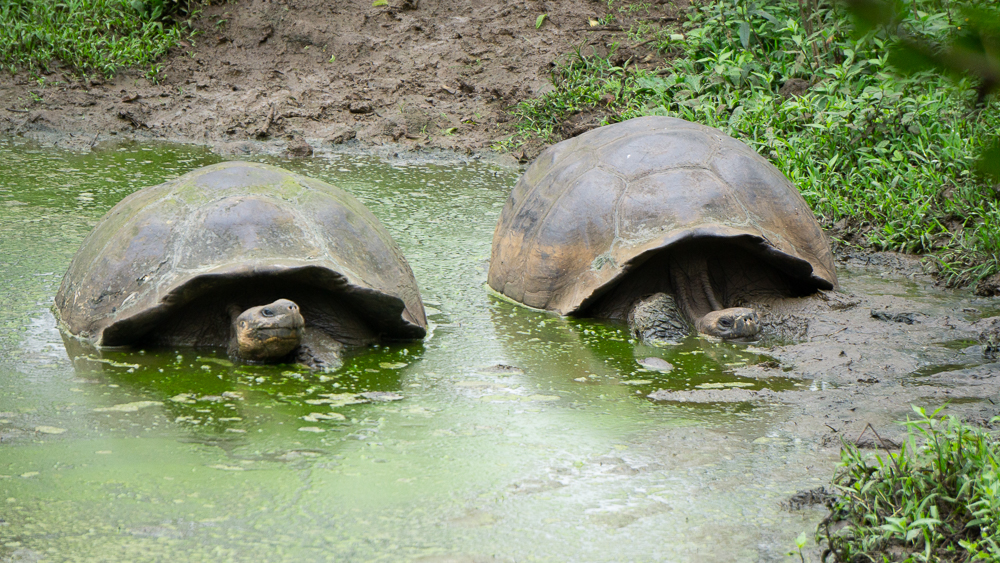 Galapagos islands: Santa Cruz giant tortoises at El Chato