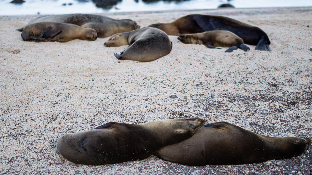 Galapagos islands: San Cristobal: sea lions at beach