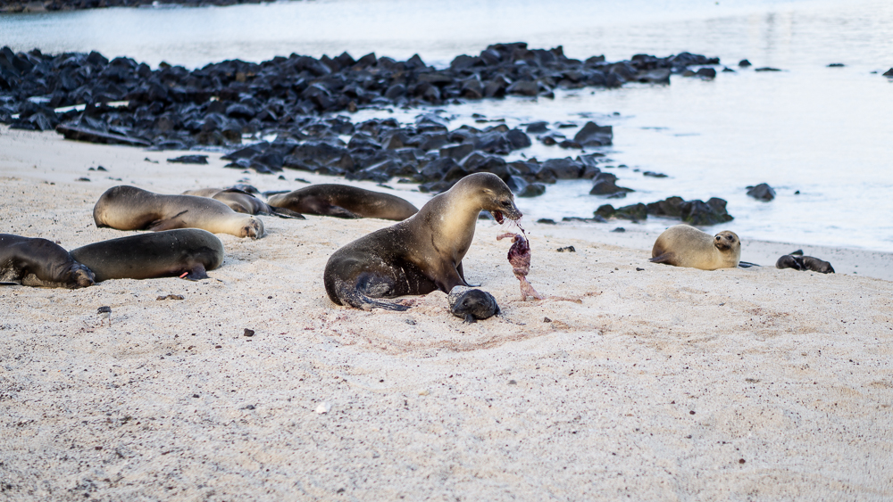 Galapagos islands: San Cristobal: sea lon at beach after giving birth