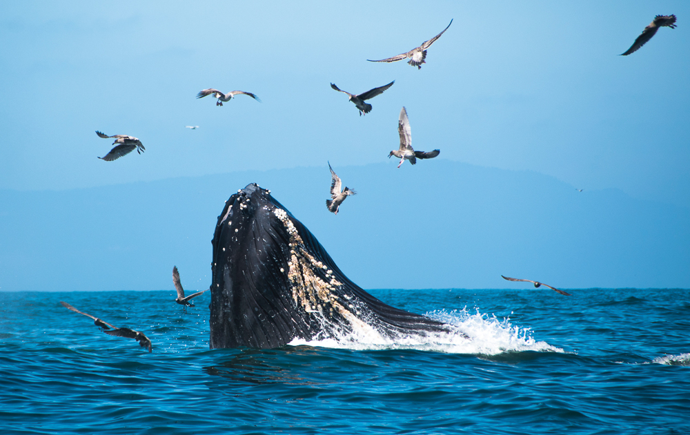 Whale watching in Ecuador: Humback whale