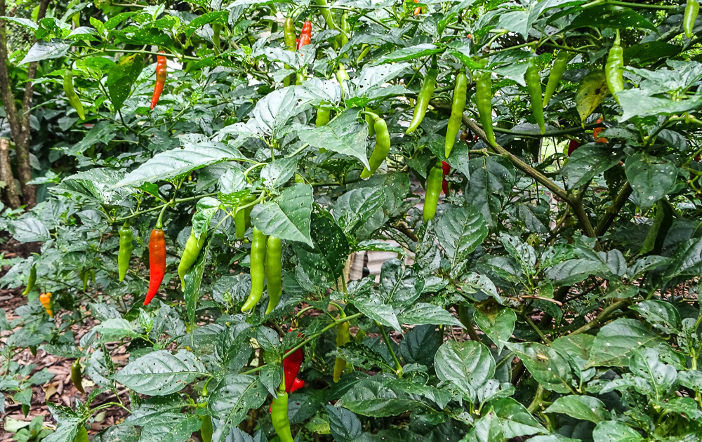 Cuyabeno: Ecuador's amazon adventure: fresh chillies