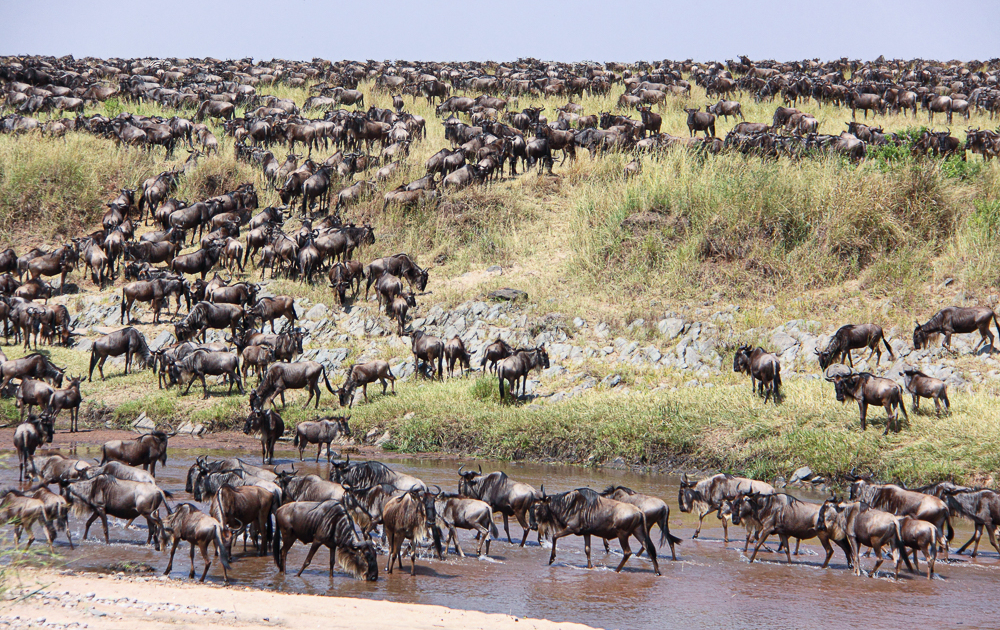 Serengeti, Tanzania great wildabeats migration over the river