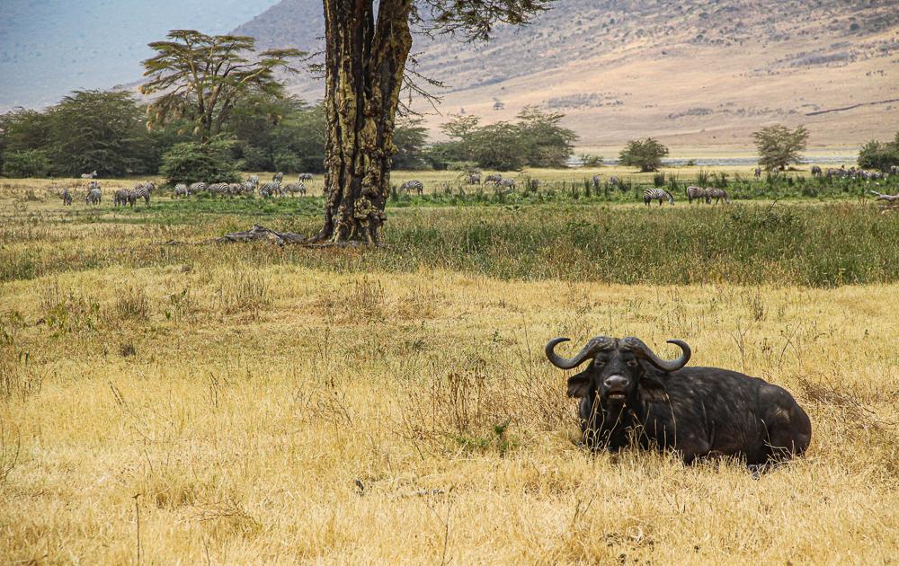 Safari in Tansania Ngorogoro: Büffel im Gras