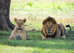Safari in Tanzania, two lions